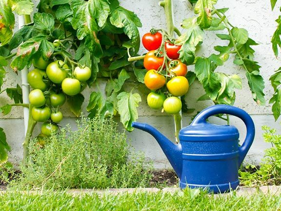 grüne tomaten reifen lassen