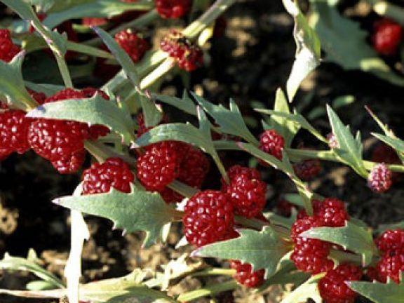 Spinatähnliche Blätter, erdbeerartige Früchte: Der Erdbeerspinat ist ein Blickfang.