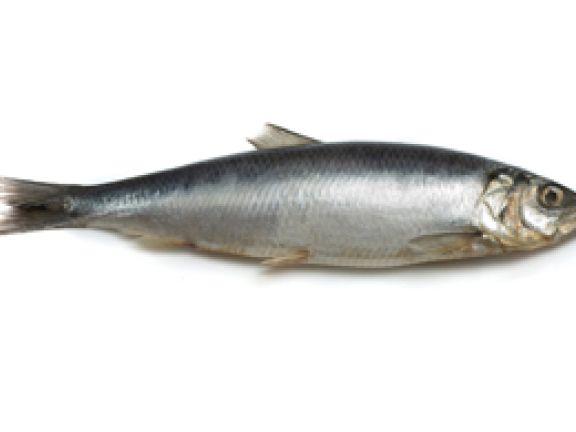 Schwarmfische aus Nord- und Ostsee