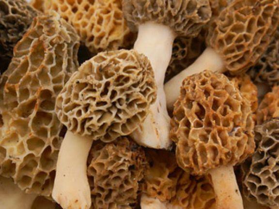 Luxuriöser Pilz für Gourmets: Morcheln