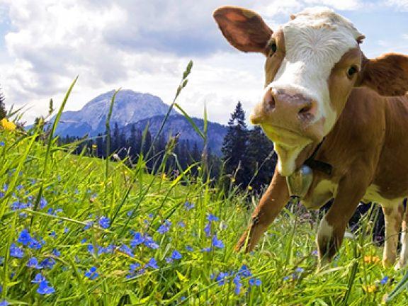 Kälbchen auf Alpenwiese