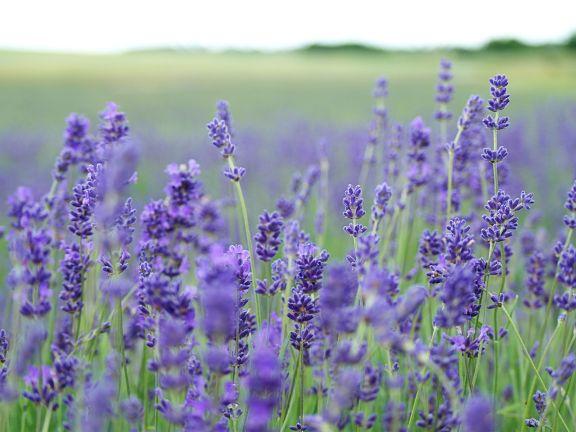 Hübsch und hilfreich: Lavendel.