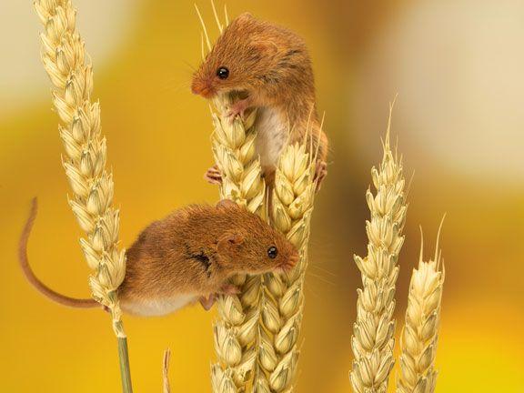 Zwei Feldmäuse klettern auf einer Kornähre