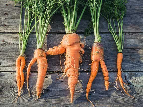 Krumme Karotten auf einem Holzuntergrund
