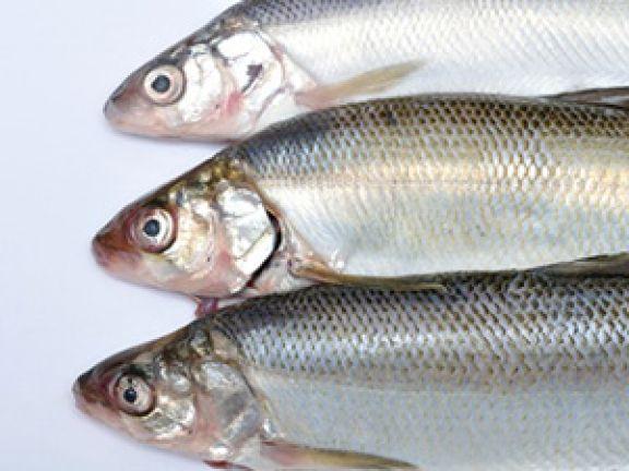 Renke ist ein Süßwasserfisch. © coco194 - Fotolia.com