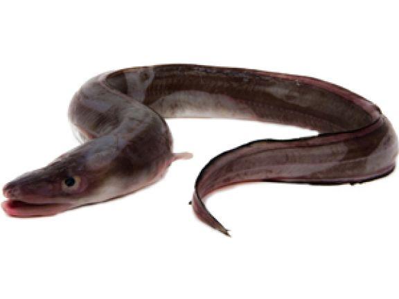 Was man über Aal wissen sollte.