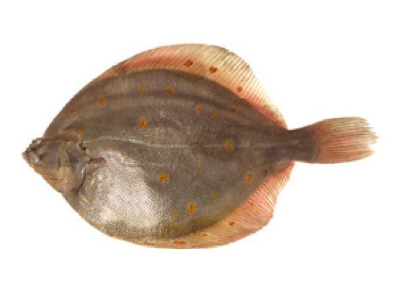 Schollen werden auch Plattfisch genannt