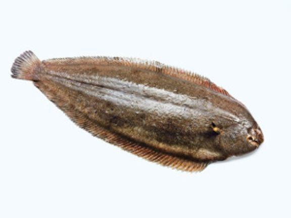 Seezunge ist bei Fischfans heißt begehrt