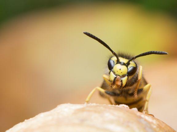 Was Hilft Gegen Wespen Eat Smarter