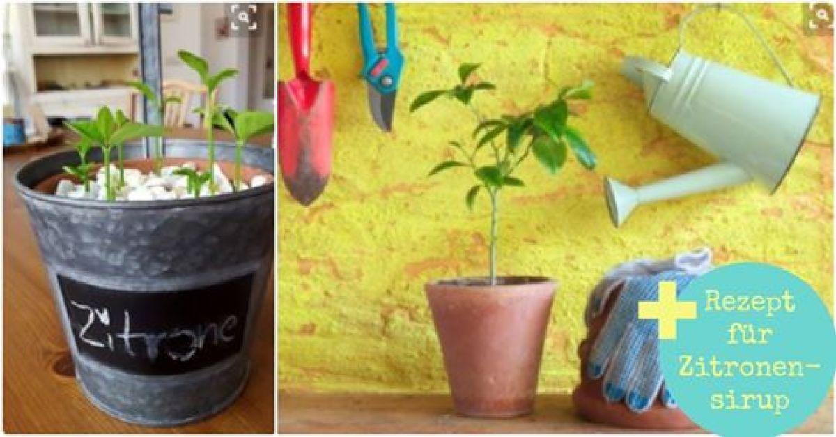 zitronenbaum pflanzen einfach selber ziehen eat smarter. Black Bedroom Furniture Sets. Home Design Ideas